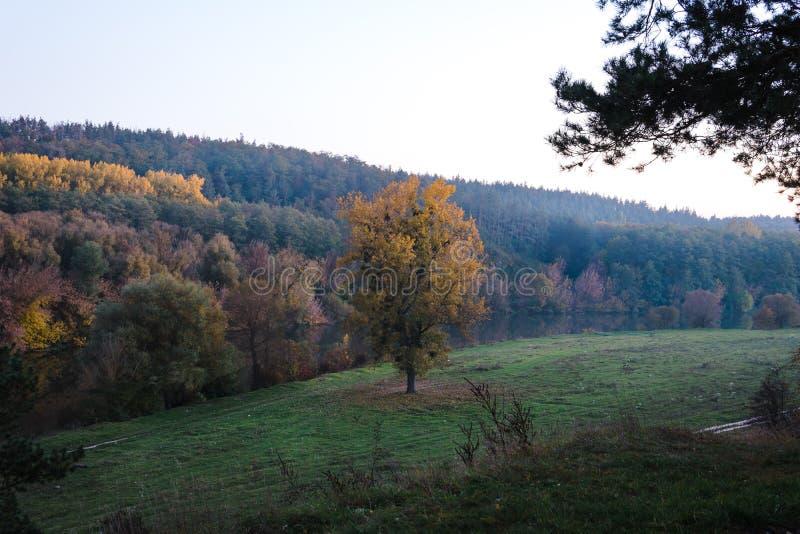 ?rbol solamente grande con las hojas amarillas en el r?o de la orilla en prado verde en ?rbol del paisaje del campo el solo, back fotos de archivo libres de regalías
