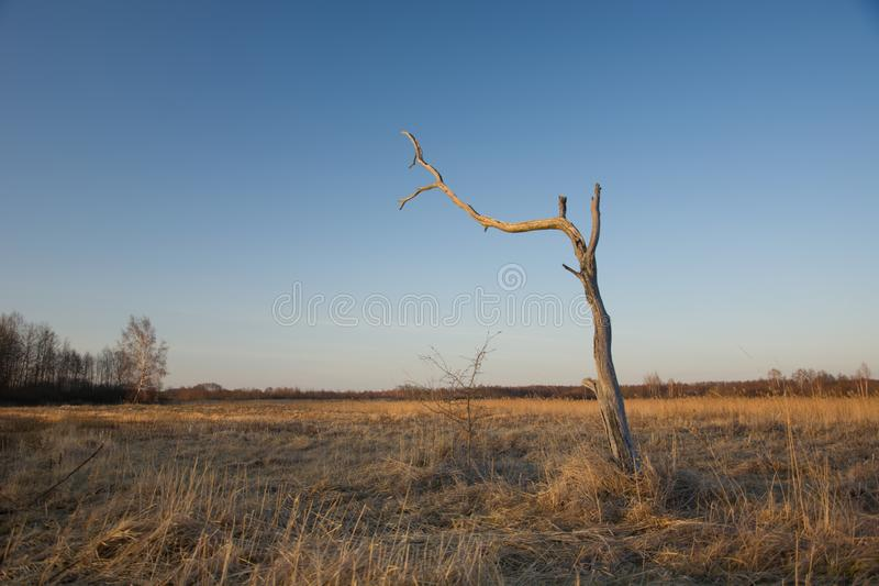 Árbol solamente seco y muerto foto de archivo libre de regalías