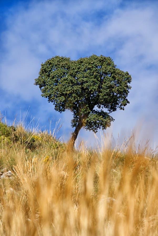 Árbol solitario con la hierba de oro borrosa en primero plano fotos de archivo libres de regalías