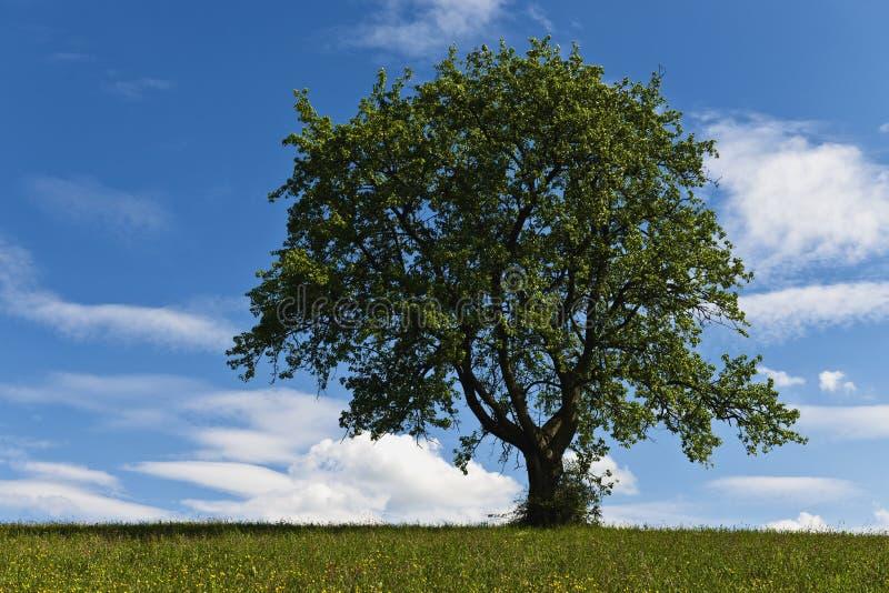 Árbol solitario en campo fotos de archivo libres de regalías