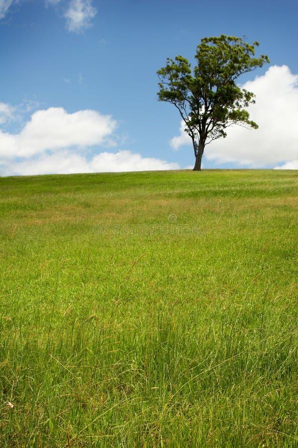 Árbol solitario en campo verde fotografía de archivo libre de regalías