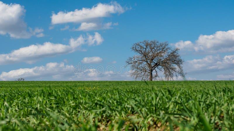 Árbol solitario en el campo alrededor de la ciudad de Montefalco en Umbria Italy foto de archivo