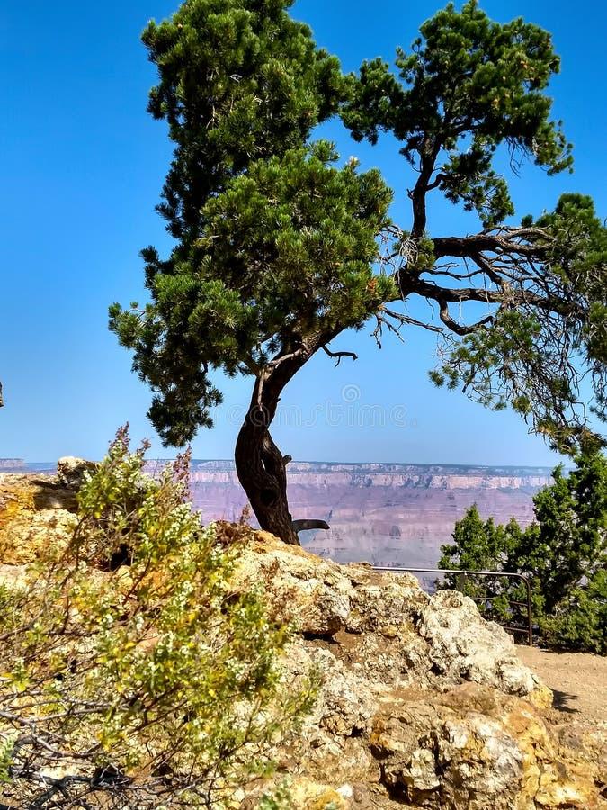 Árbol solitario en Grand Canyon imagen de archivo libre de regalías