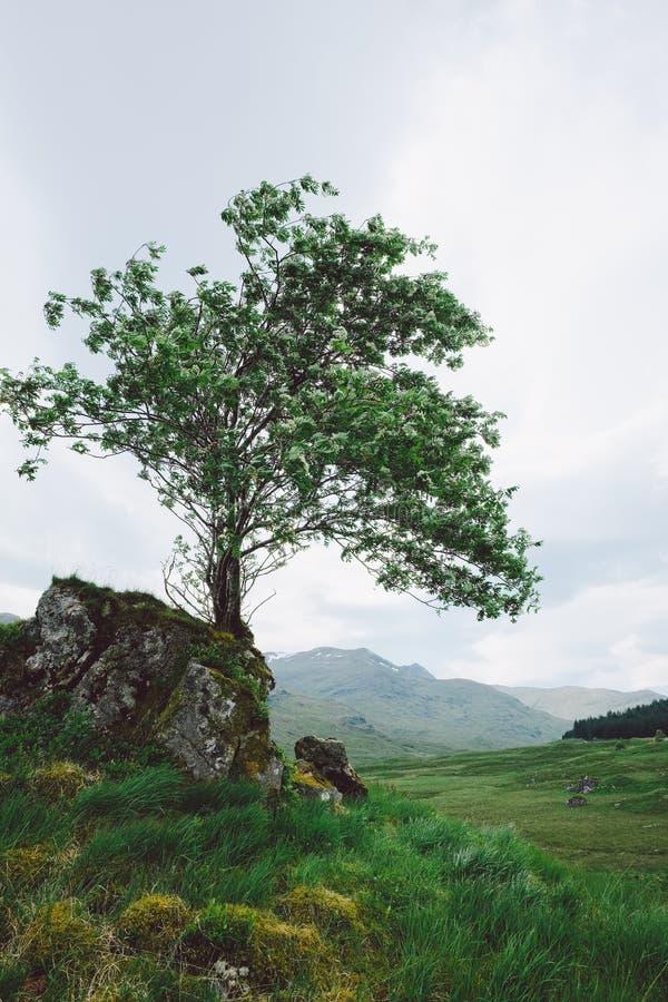 Árbol solitario, Escocia foto de archivo libre de regalías