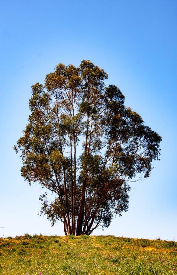 Árbol solitario grande imagen de archivo libre de regalías