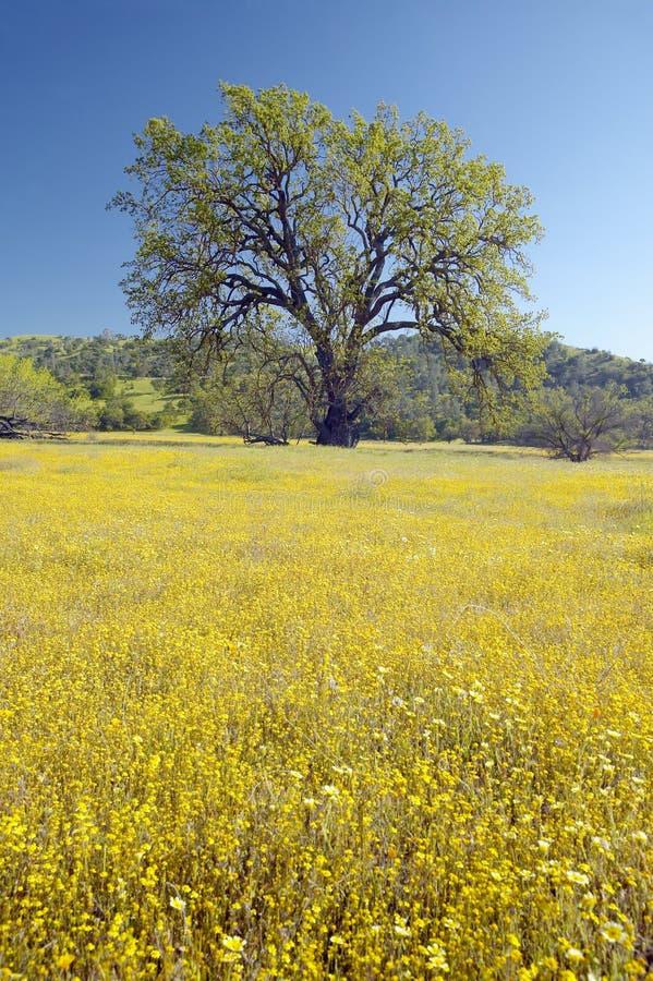 Árbol solitario y ramo colorido de flores de la primavera que florecen de la ruta 58 en el camino de Shell Creek, al oeste de Bak fotografía de archivo