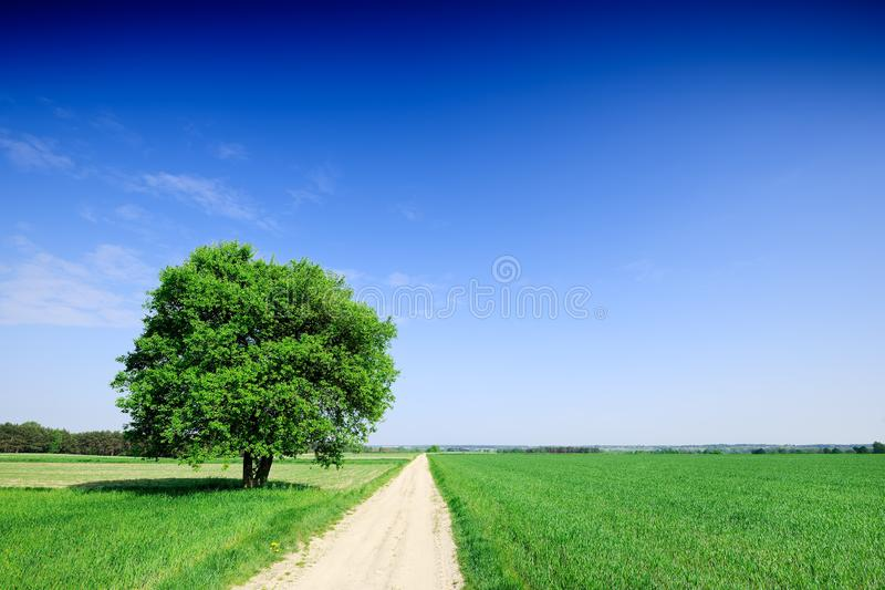 Árbol solo al lado de un camino rural que corre entre campos verdes imagen de archivo
