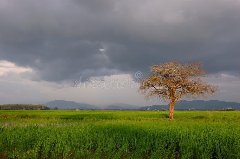 Árbol solo en campos de arroz foto de archivo