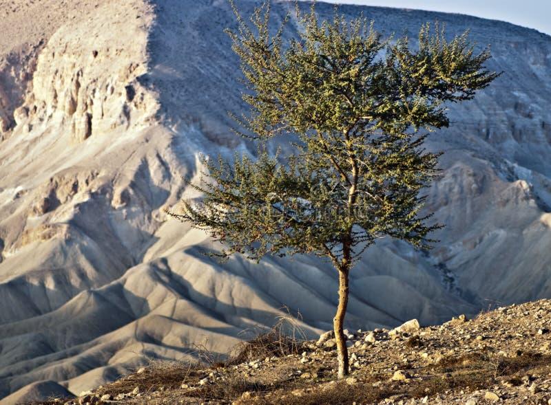 Árbol solo en el desierto del Negev, Israel imagen de archivo