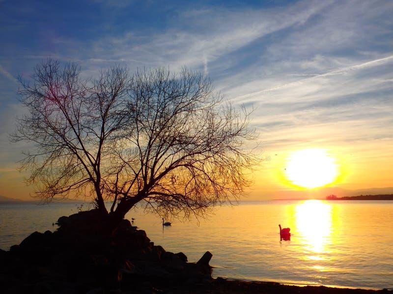 Árbol solo en el lago Lemán imagenes de archivo