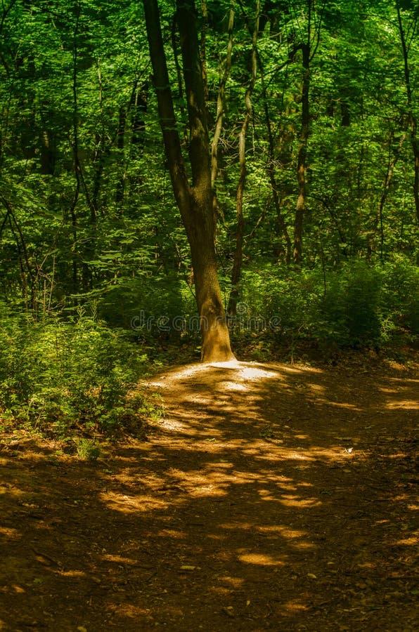 árbol solo que se coloca al lado de un camino forestal foto de archivo