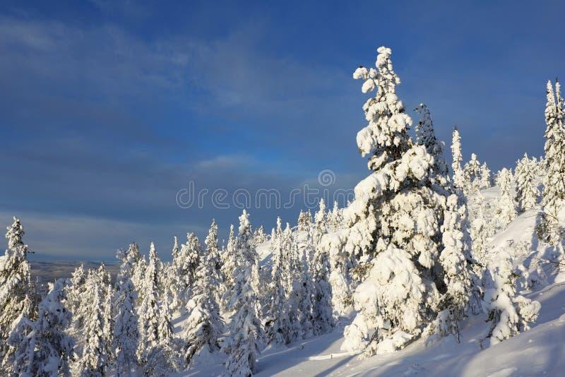 Árbol Spruce cubierto con nieve fotos de archivo libres de regalías