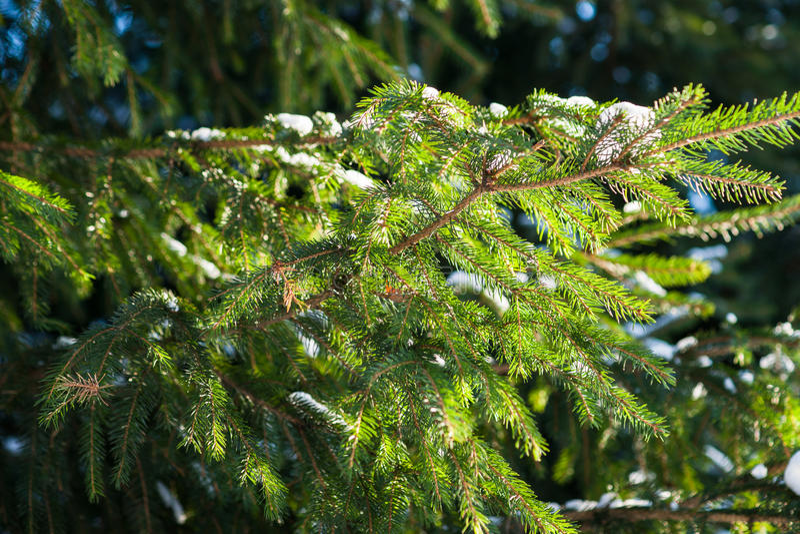 Árbol spruce iluminado por el sol fotos de archivo