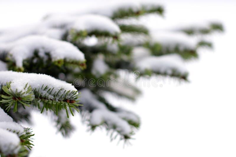 Árbol spruce imperecedero de la Navidad fotografía de archivo