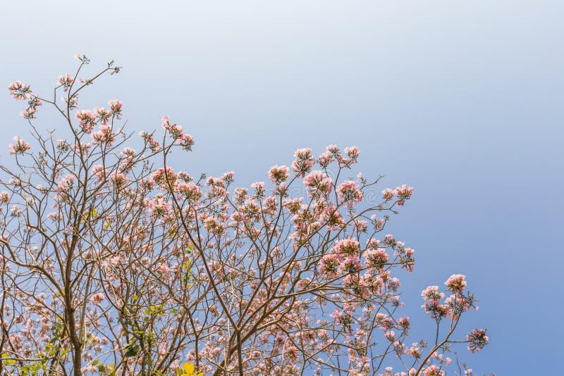 Árbol tailandés de Sakura imagenes de archivo