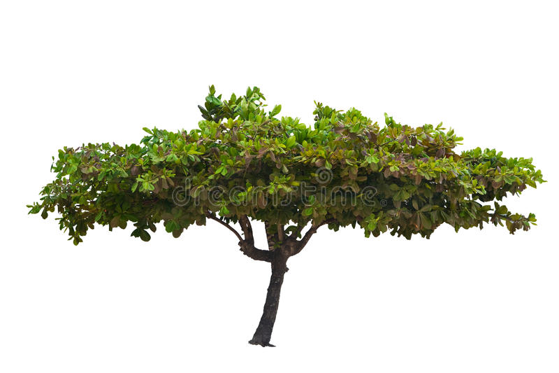 Árbol tropical aislado imagen de archivo