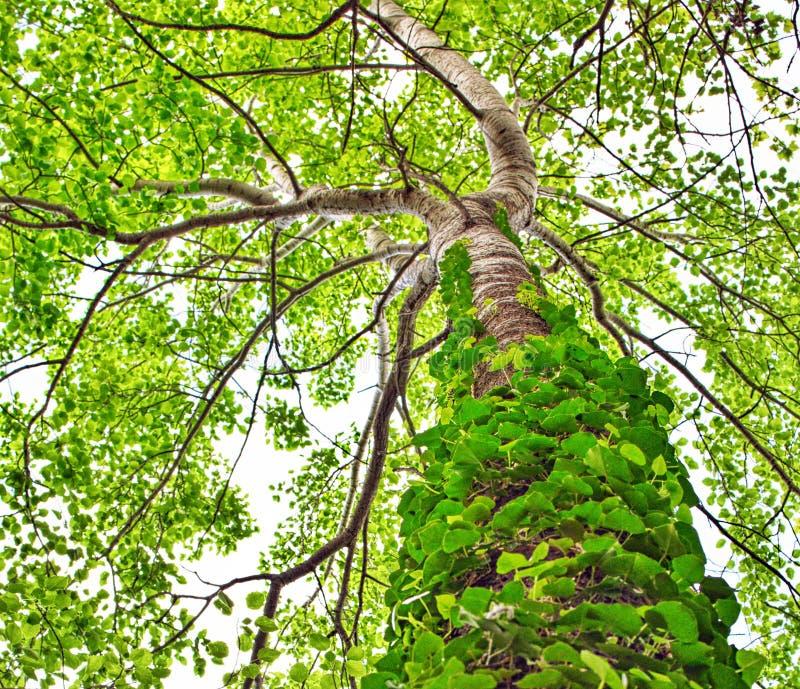 árbol tropical con las vides que crecen el tronco del ángulo bajo fotos de archivo libres de regalías