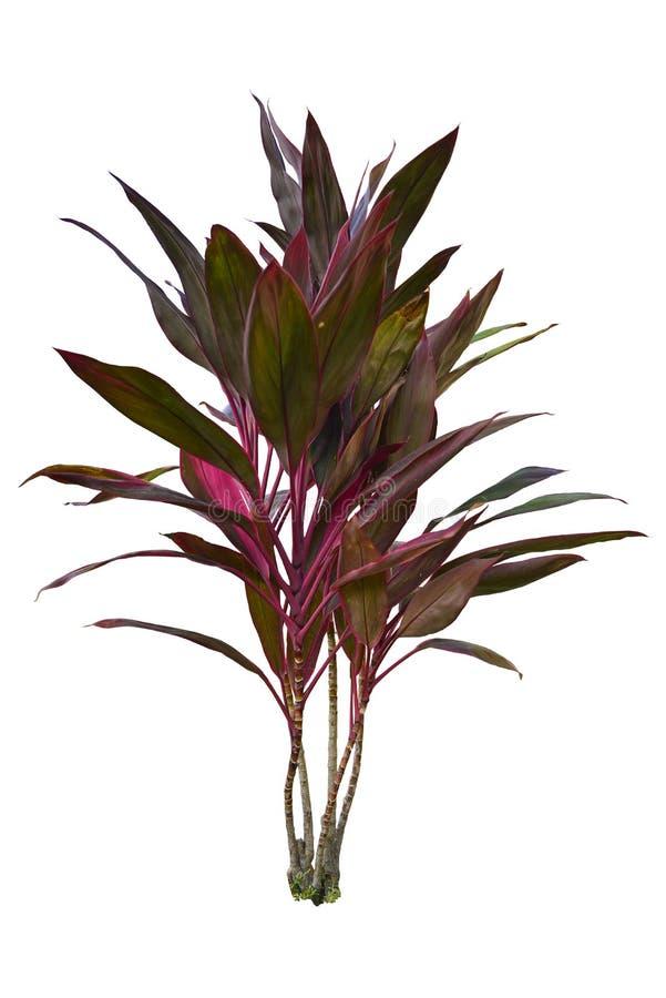 Árbol tropical de Fruticosa de la planta o del Cordyline del Ti para cultivar un huerto aislada en el fondo blanco con la trayect fotos de archivo libres de regalías