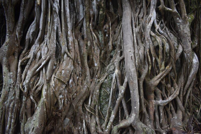 Árbol tropical extraño con las raíces muy únicas que resaltan sobre la tierra foto de archivo