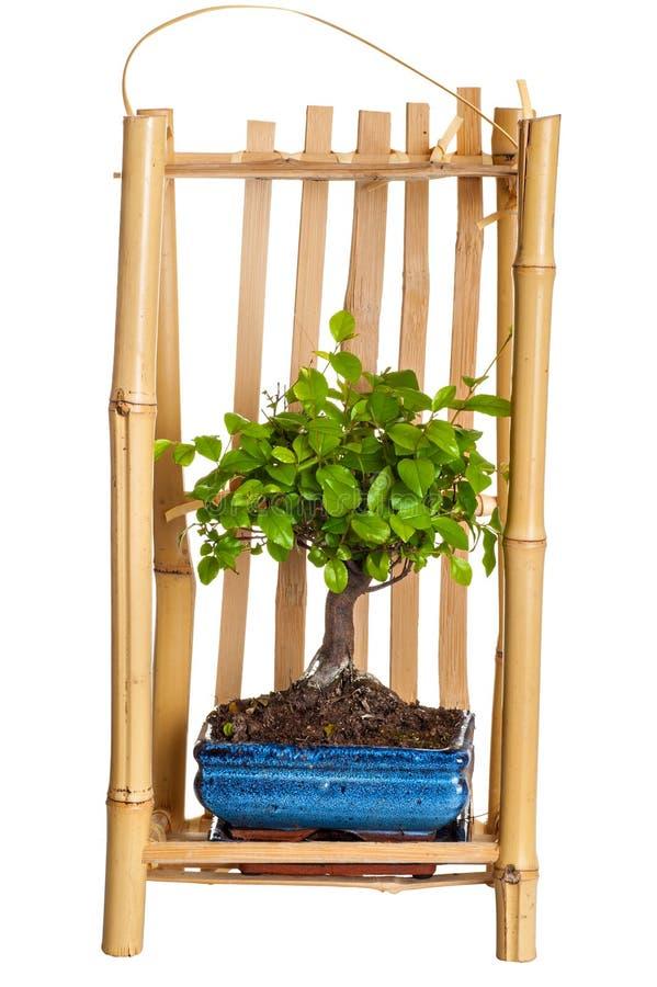 Árbol un bonsai en el embalaje para llevar fotos de archivo