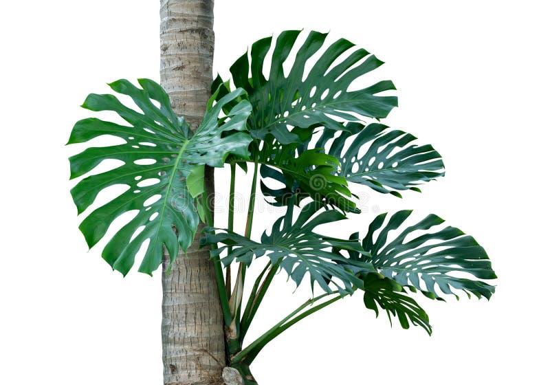 Árbol verde de la selva de Monstera de la selva tropical tropical que crece con el árbol de coco aislado en el fondo blanco, tray fotos de archivo