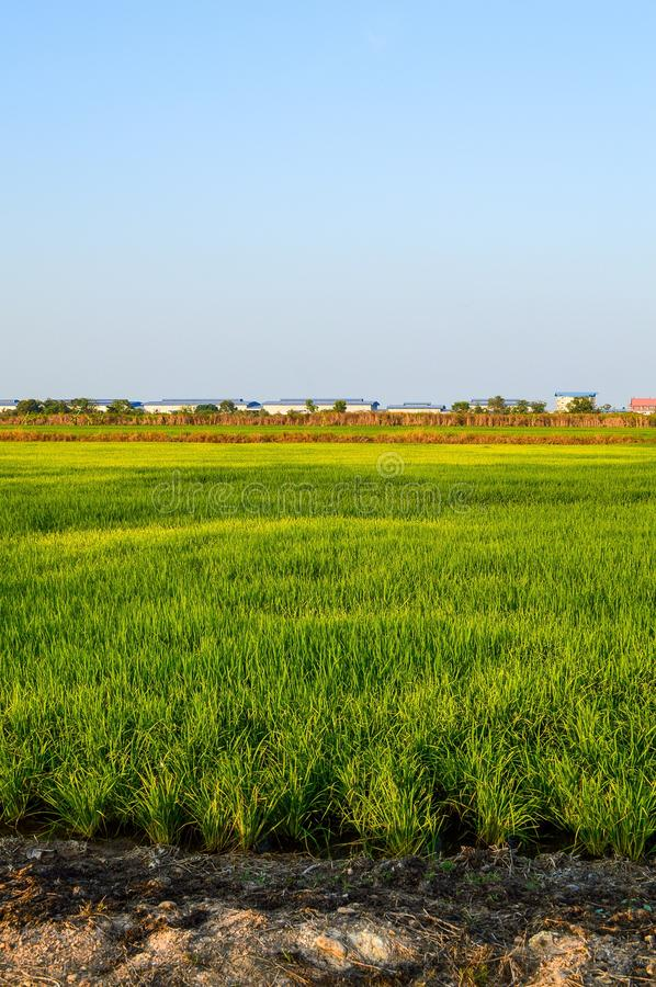 Árbol verde del arroz en el país, Chachoengsao, Tailandia foto de archivo libre de regalías