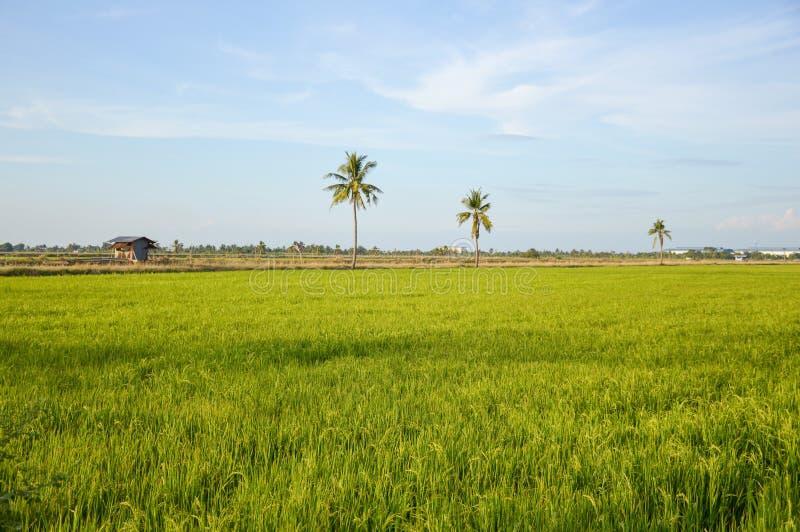 Árbol verde del arroz en el país Chachoengsao Tailandia foto de archivo