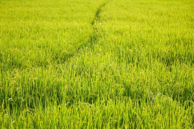 Árbol verde del arroz en el país Chachoengsao Tailandia imagen de archivo