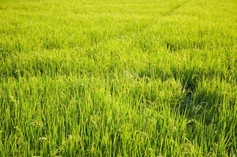 Árbol verde del arroz en el país Chachoengsao Tailandia foto de archivo libre de regalías
