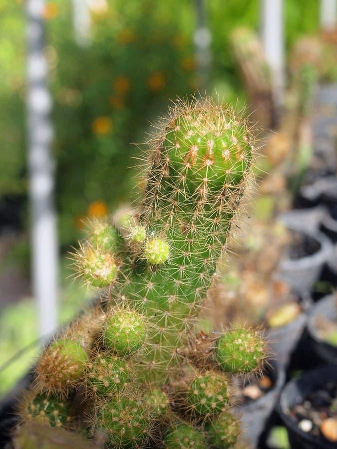 árbol verde del cactus foto de archivo libre de regalías