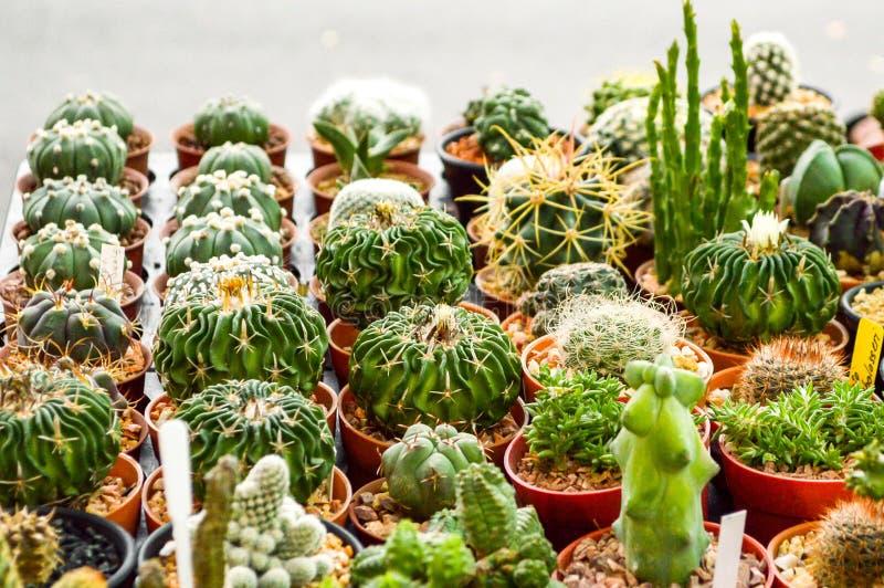 árbol verde del cactus en jardín imagen de archivo libre de regalías