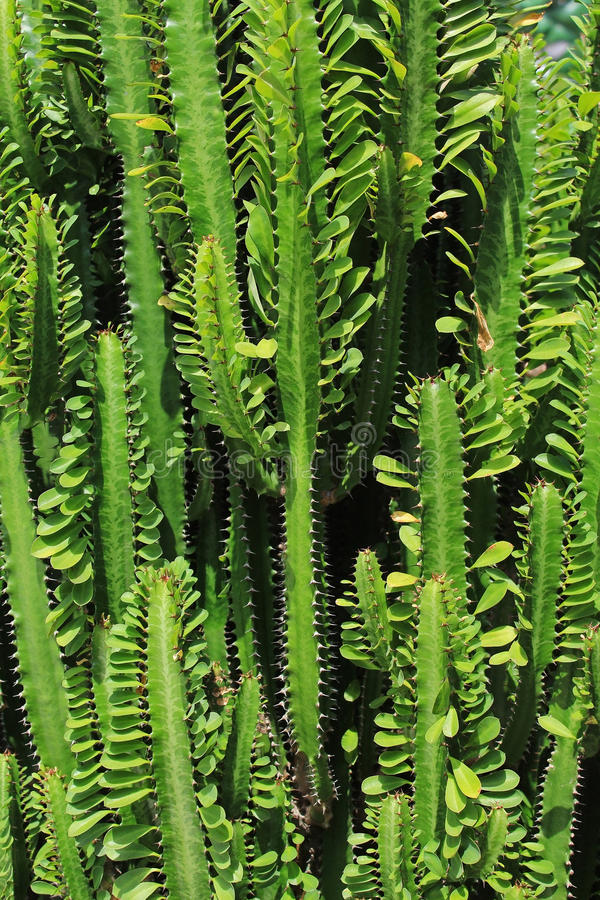 árbol verde del cactus en jardín fotos de archivo libres de regalías