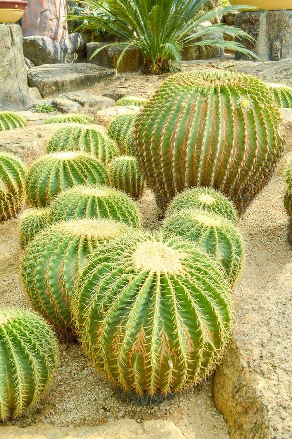 Árbol verde del cactus en piso de la arena foto de archivo