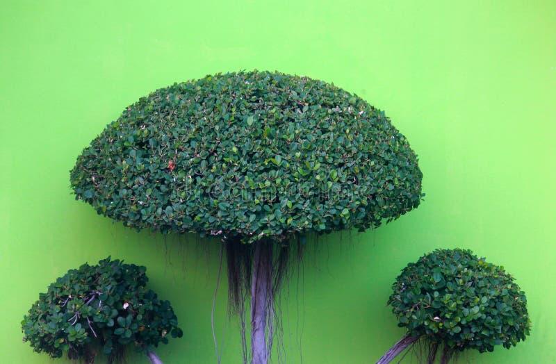 Árbol verde en el cultivo de los bonsais imágenes de archivo libres de regalías