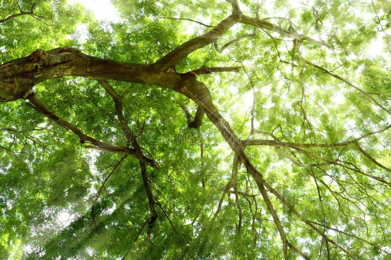 Árbol verde enorme con luz del sol, tiro de la rama del ángulo bajo foto de archivo libre de regalías