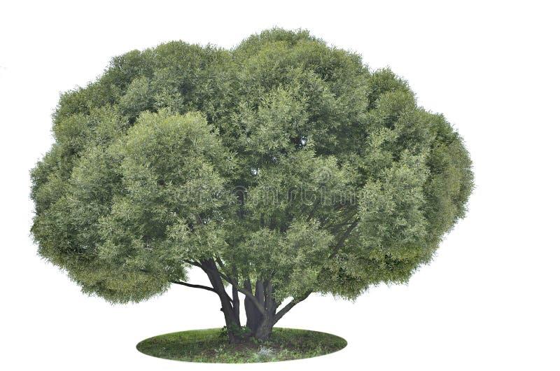 Árbol verde grande en blanco foto de archivo libre de regalías