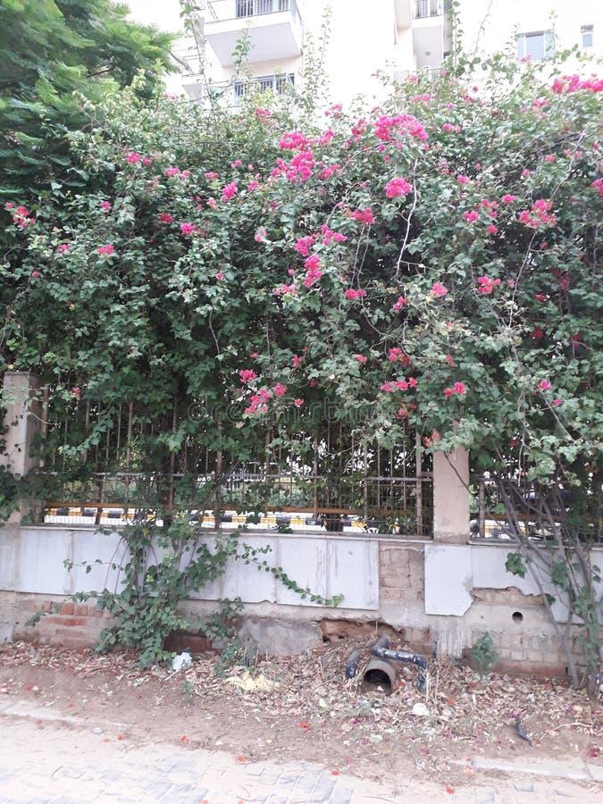 Árbol verde hermoso y flor rosada imagen de archivo