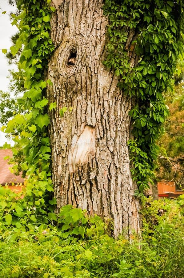 Árbol viejo con con Knothole imagenes de archivo