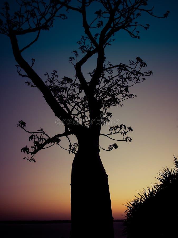 Árbol viejo del boab en la puesta del sol en reyes Park, Perth, Austra occidental foto de archivo