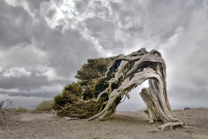Árbol viejo del enebro en la isla del EL Hierro imágenes de archivo libres de regalías