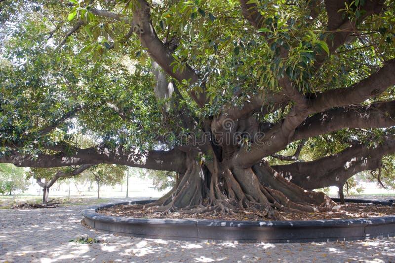 Árbol viejo del ficus en Buenos Aires imagen de archivo