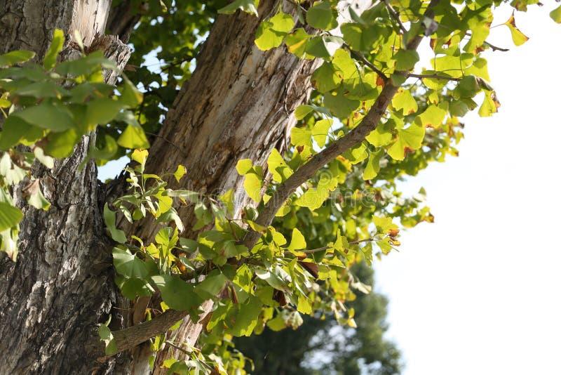 Árbol viejo del Gingko imagenes de archivo