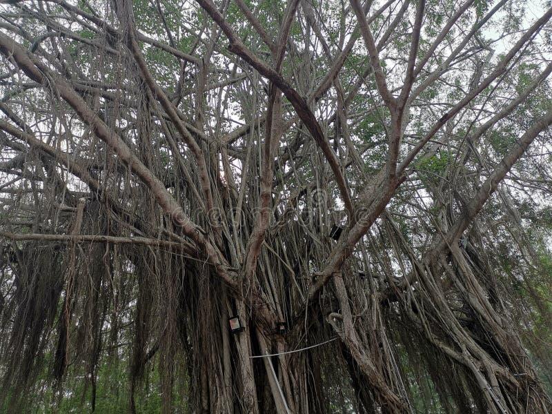 Árbol viejo en Dickson Malaysia portuario imagenes de archivo