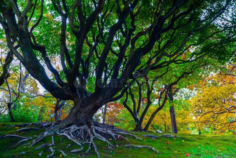 Árbol viejo en el jardín botánico de Missouri foto de archivo libre de regalías