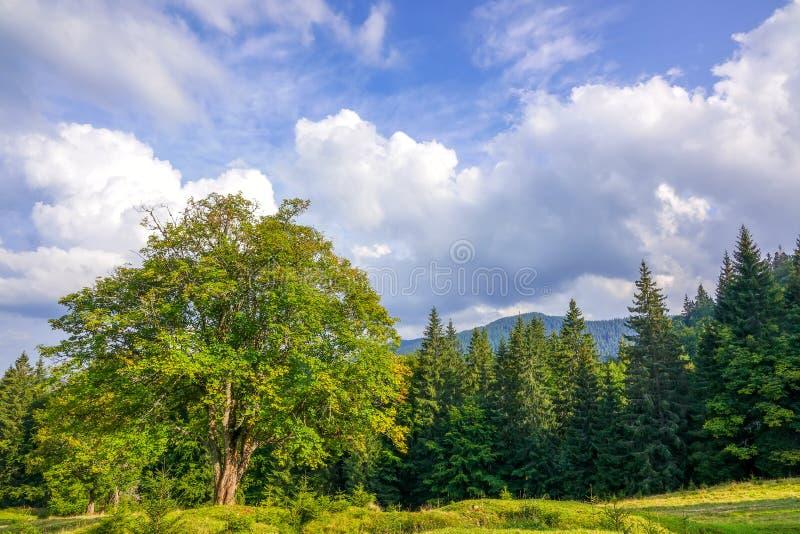 Árbol viejo en Forest Glade y las nubes foto de archivo libre de regalías