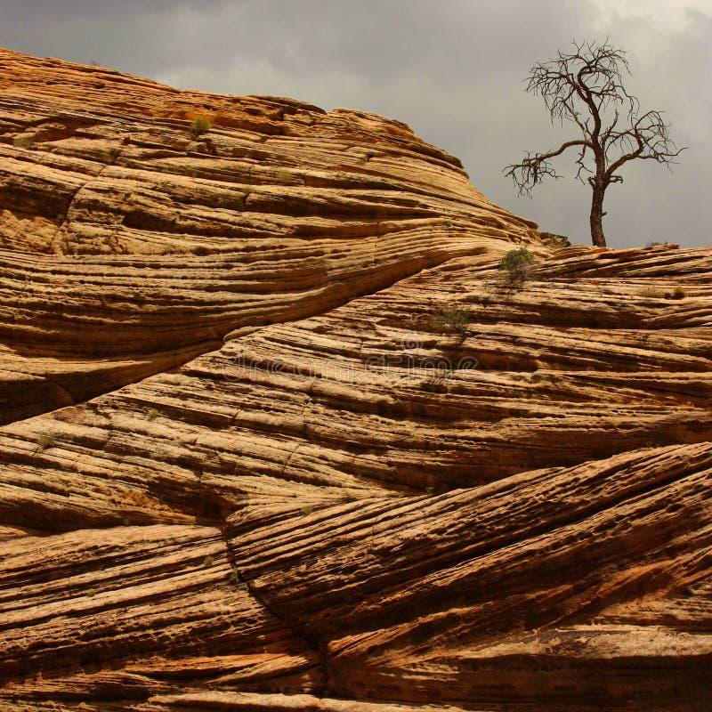 Árbol viejo en la piedra arenisca roja fotografía de archivo
