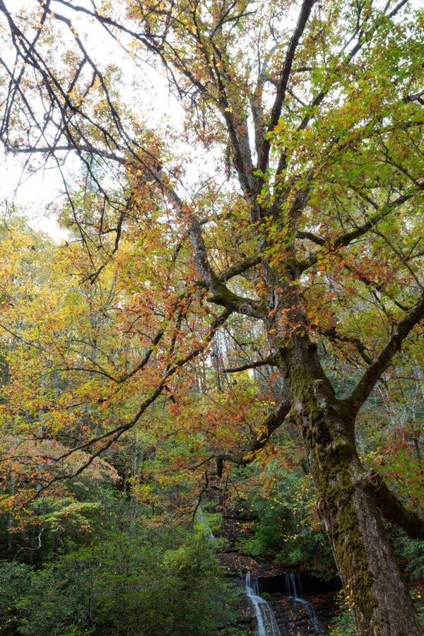 Árbol viejo grande que se inclina con el musgo y las hojas de otoño con la cascada en el fondo, Great Smoky Mountains imágenes de archivo libres de regalías