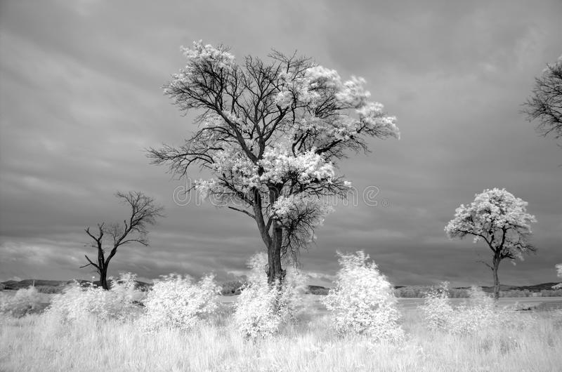 Árbol viejo infrarrojo imagen de archivo