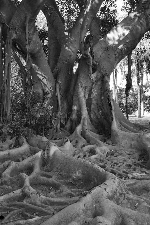 Árbol viejo nudoso en blanco y negro fotos de archivo