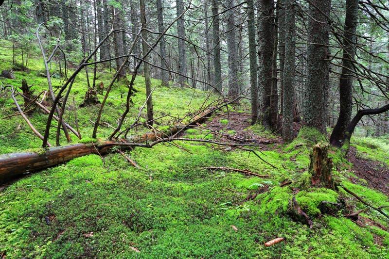 Árbol viejo y musgo verde en bosque fotografía de archivo